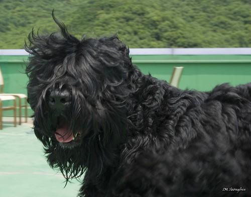 Black Russian Terrier (블랙 러시안 테리어)