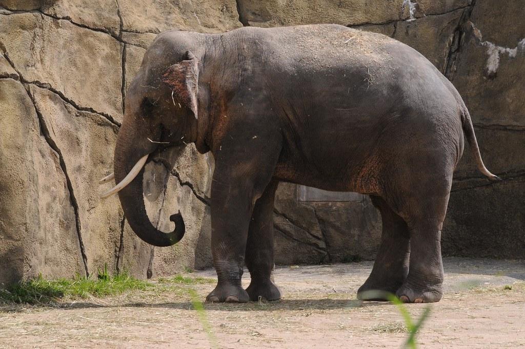 Kölner Zoo Elefant Ertrunken