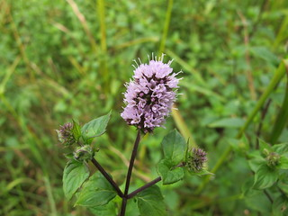 Peppermint (Mentha ×piperita [aquatica × spicata]) | by pverdonk