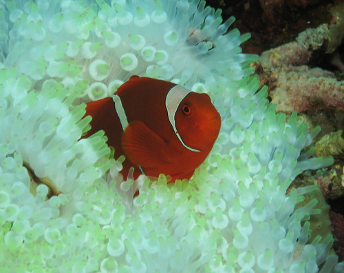 spinecheek anemonefish | by mtarlock
