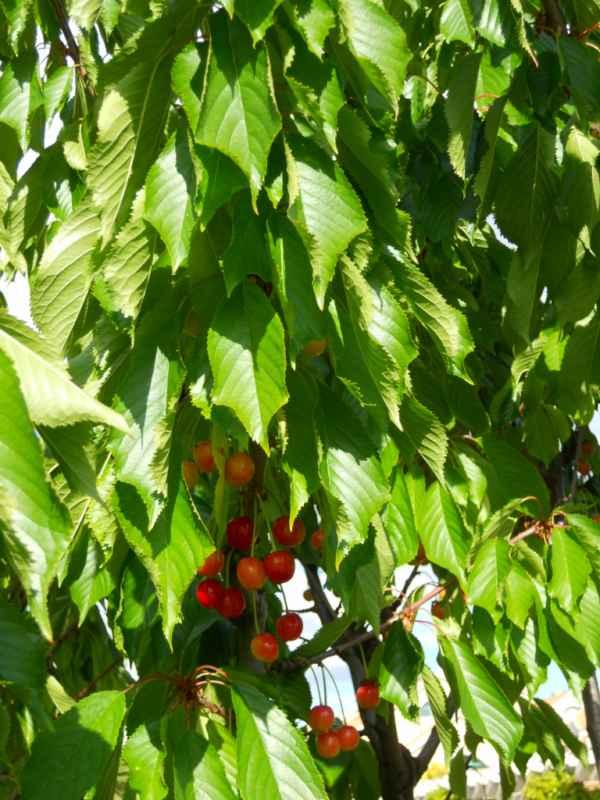 Prunus avium v 2