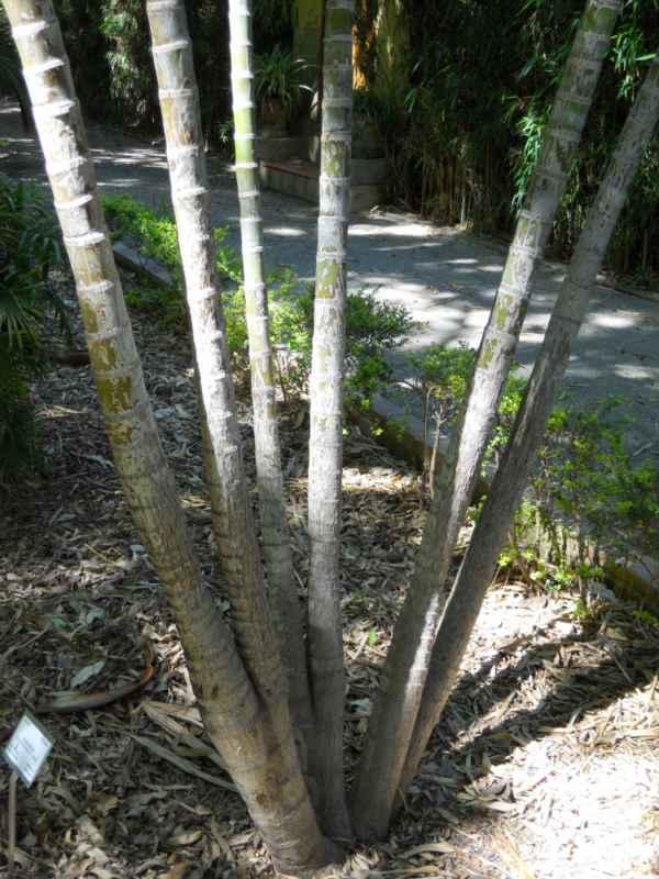 Dypsis lutescens troncos v 2