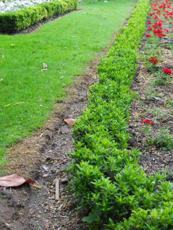 Buxus sempervirens seto v 1