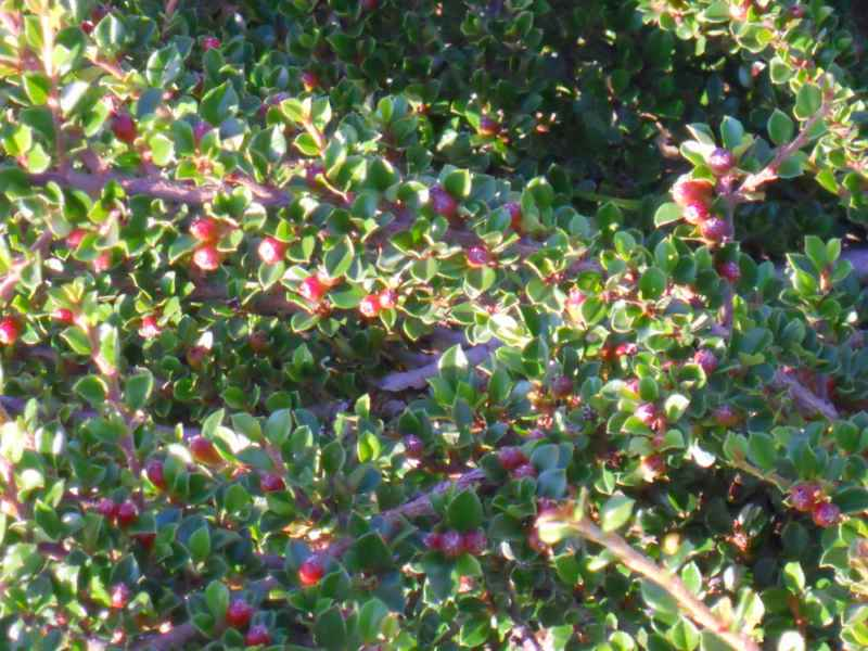 Cotoneaster microphyllus 5