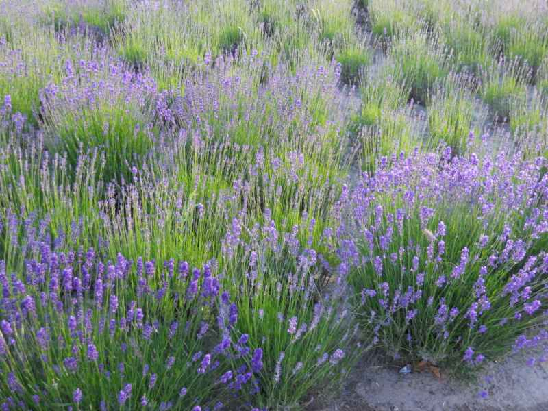 Lavandula officinalis 4