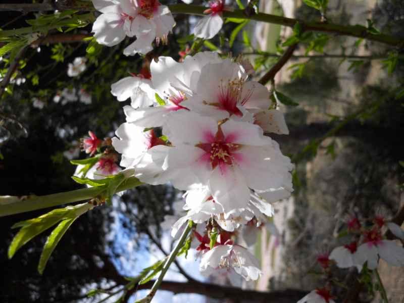Prunus dulcis flor 4