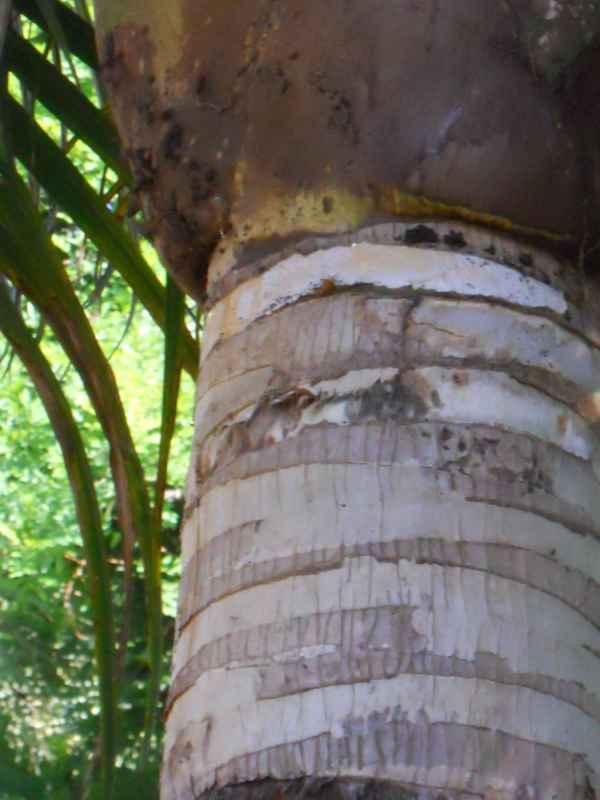 Ravenea rivularis tronco 4