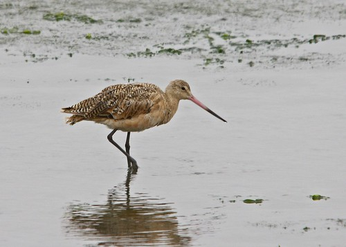 MARBLED GODWIT (Limosa fedoa)  Moss Landing, California | by avicentric