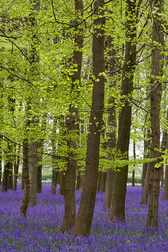 Bluebell Wood | by sparkleshots (trying to catch up)