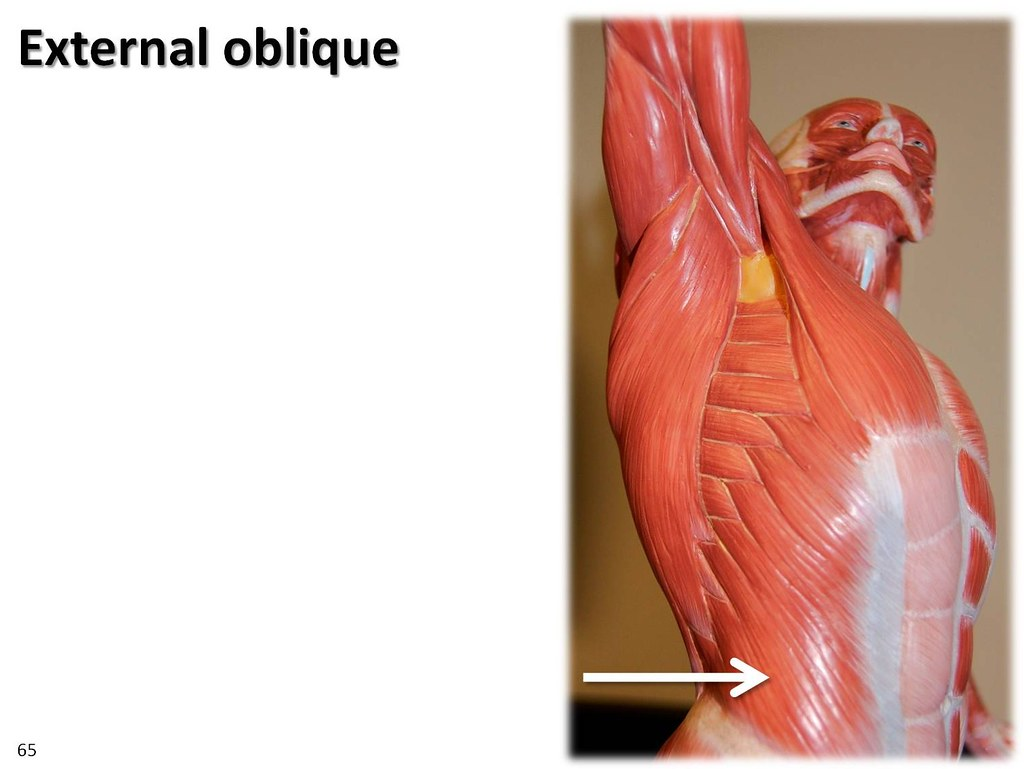 External Oblique  Dynamic Pose