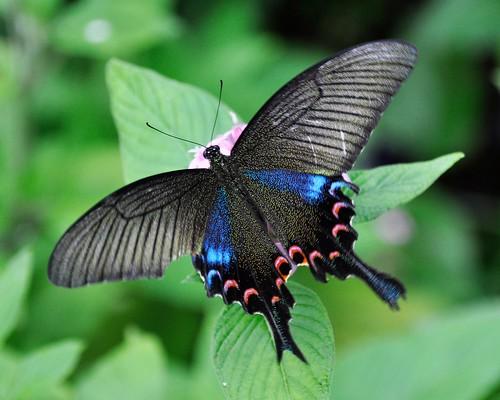 06.11.10 Luzon Peacock Swallowtail