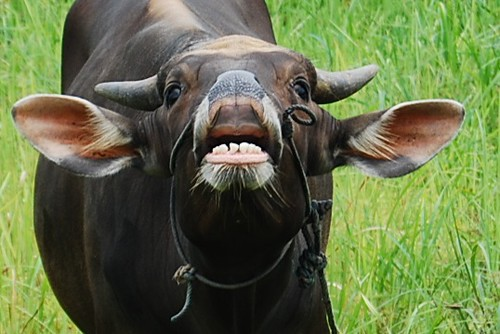 Grinning Cattle | shows how the male sexual desire | ekabees | Flickr
