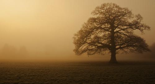 trees fog sunrise oakoaktree