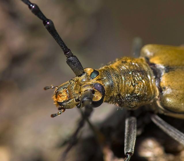 Longhorn Beetle Portrait, Massicus raddei, ミヤマカミキリ Myamakamikiri