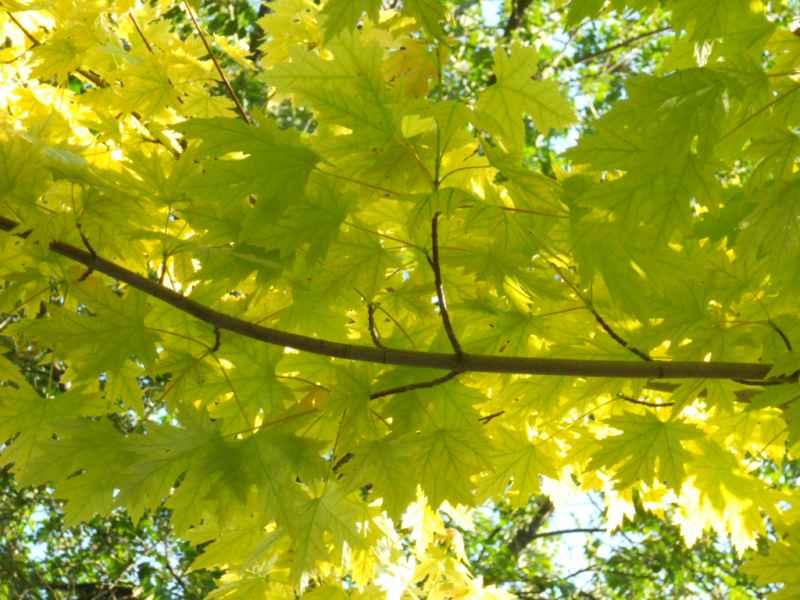 Acer pseudoplatanus 'Brillantissimum' 4