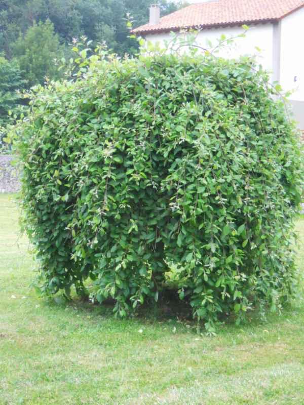 Salix caprea 'Pendula' v 1