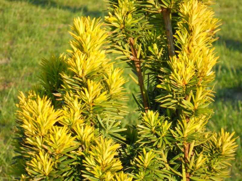 Taxus baccata 'Standishii' detalle hoja 2