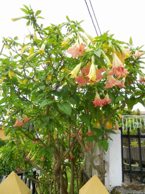Datura arborea v 4