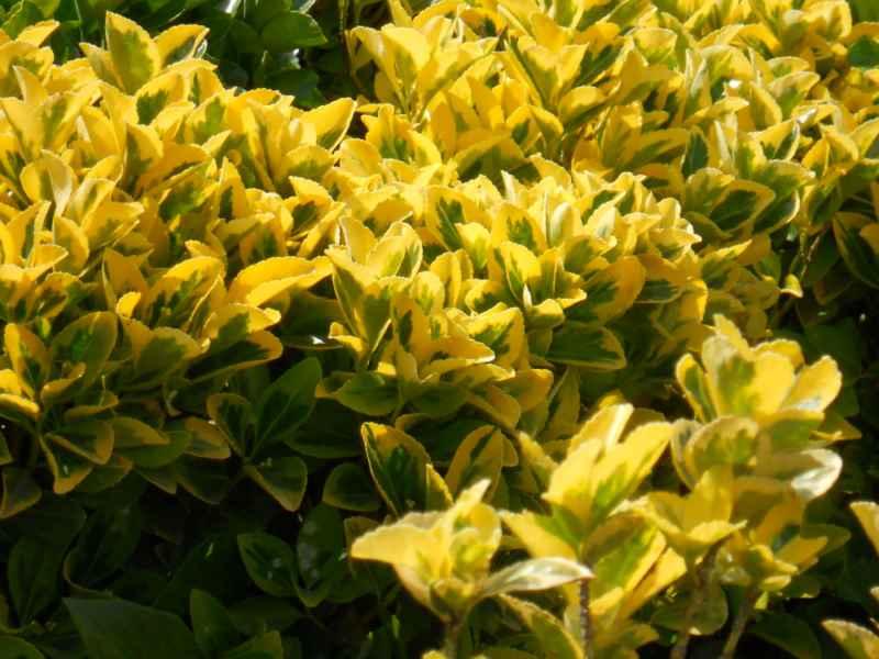 Euonymus japonicus 'Aurea' 1