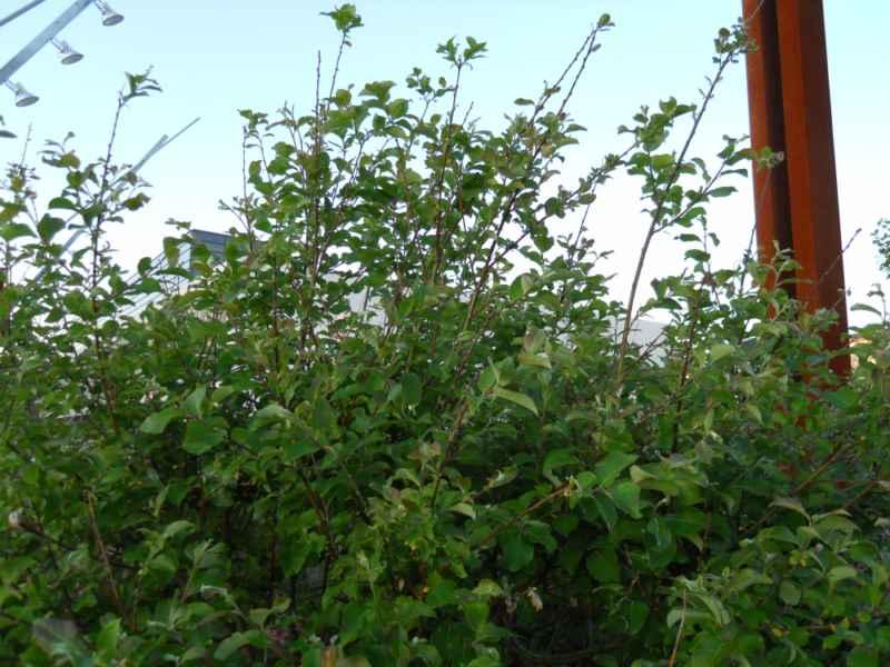 Salix caprea arbusto 2