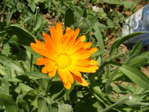 Pot-Marigold_Calendula-officinalis_112674-480x360 | by Public Domain Photos