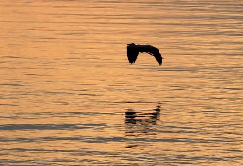 blue sunset heron nova john great cape scotia