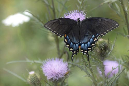 easterntigerswallowtaildarkfemale tigerswallowtail papilioglaucus shenandoahnationalpark photobydavewendelken bokeh