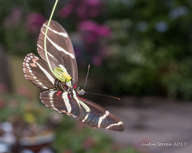 Zebra Longwing Butterfly Laying Eggs