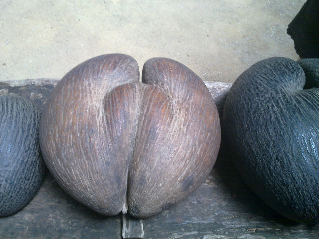 coco de mer 3