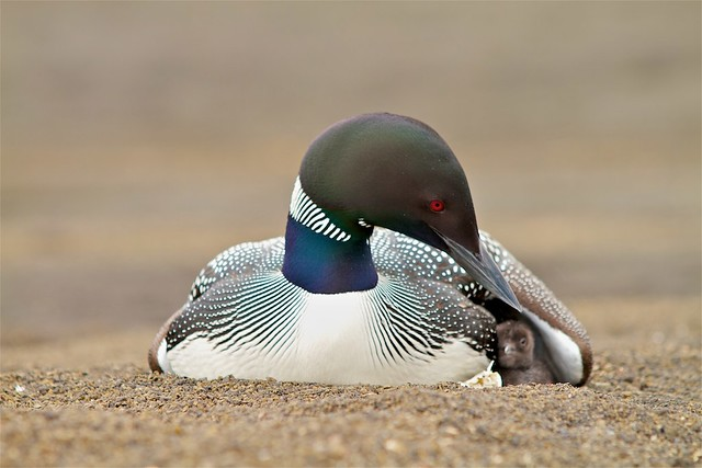 Himbrimi - Great Northern Diver with it's Chick, Veidivotn Iceland