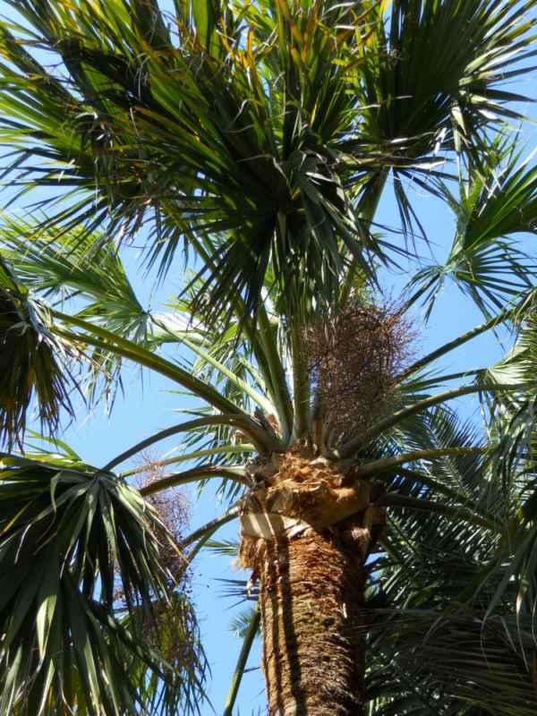 Sabal palmetto v 1