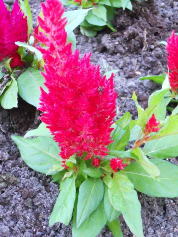 Celosia cristata 'Plumosa' roja v 3