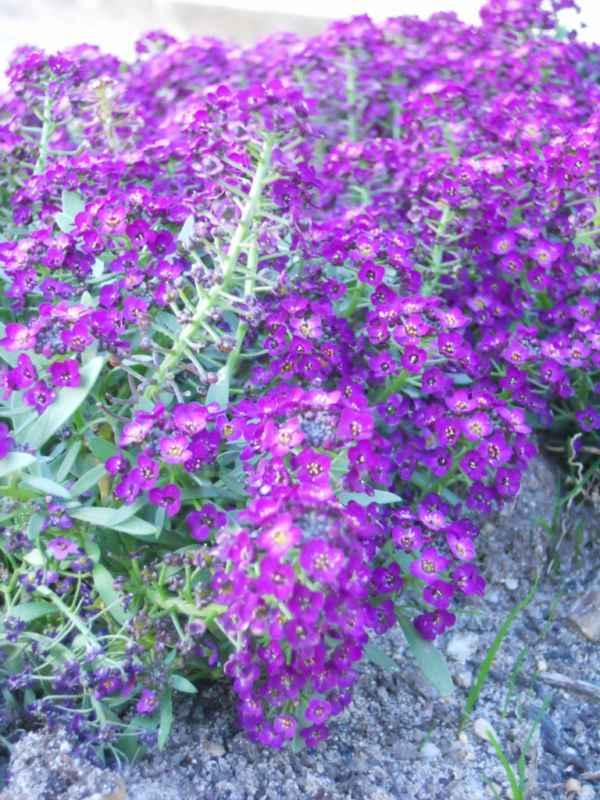 Lobularia maritima violeta v 4