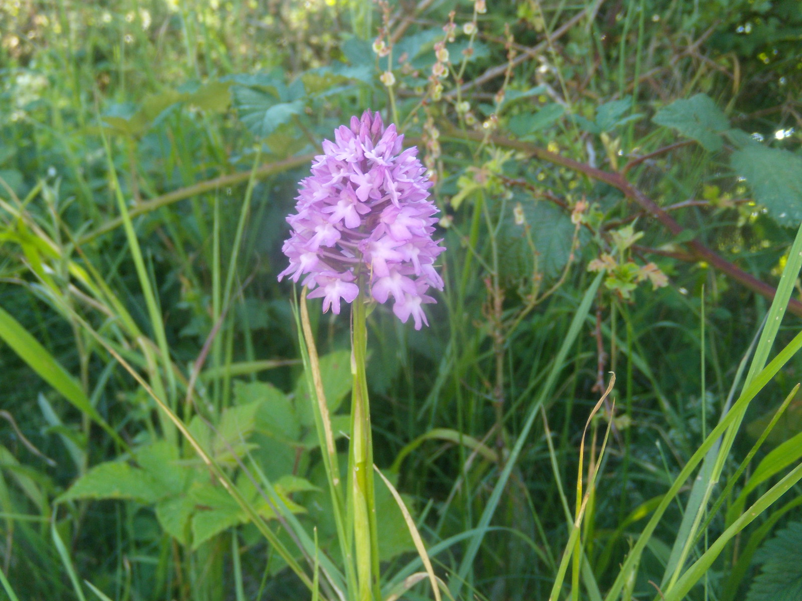 Pyramidal Orchid Berwick to Birling Gap