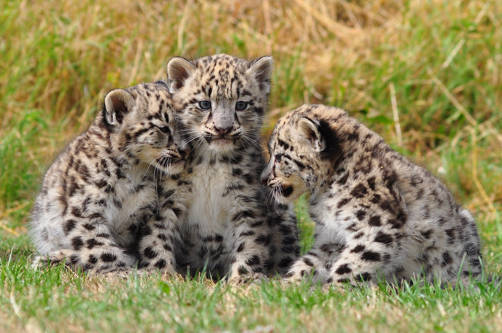Snow Leopard Cubs   Two month old snow leopard cubs at the C…   Flickr