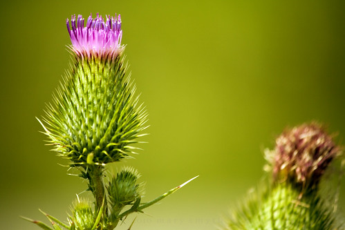 flowers green countryside weed northwest bokeh thistle scottish prickly 2010 project365 fencefriday