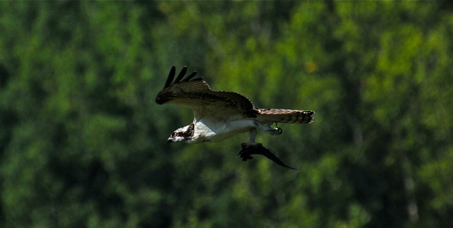 Juvenile Osprey with his breakfast