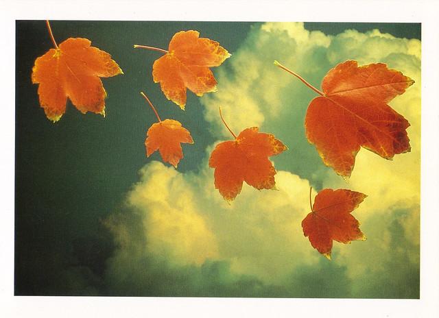 Falling Maple Leaves Postcard
