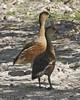 Australian Wandering Whistling-Duck (Dendrocygna arcuata) by Lip Kee