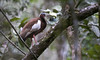 Madagascar Ibis (Lophotibis cristata) - Madagascar by ZakPohlen