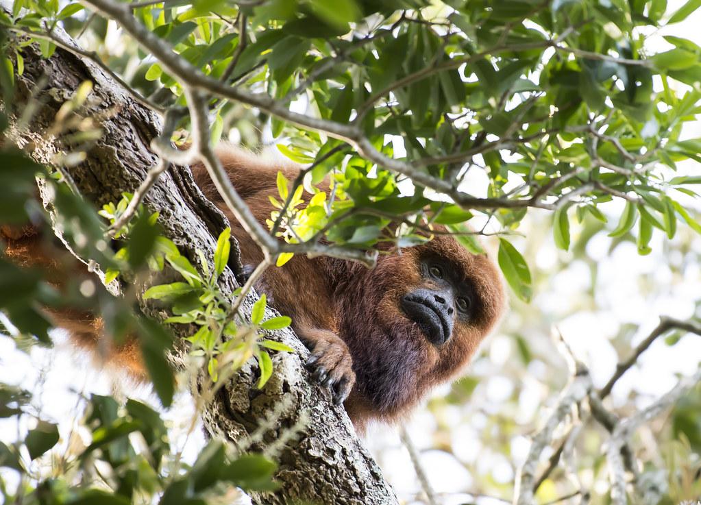 Bugio-ruivo, Brown-howler-monkey (Alouatta guariba)