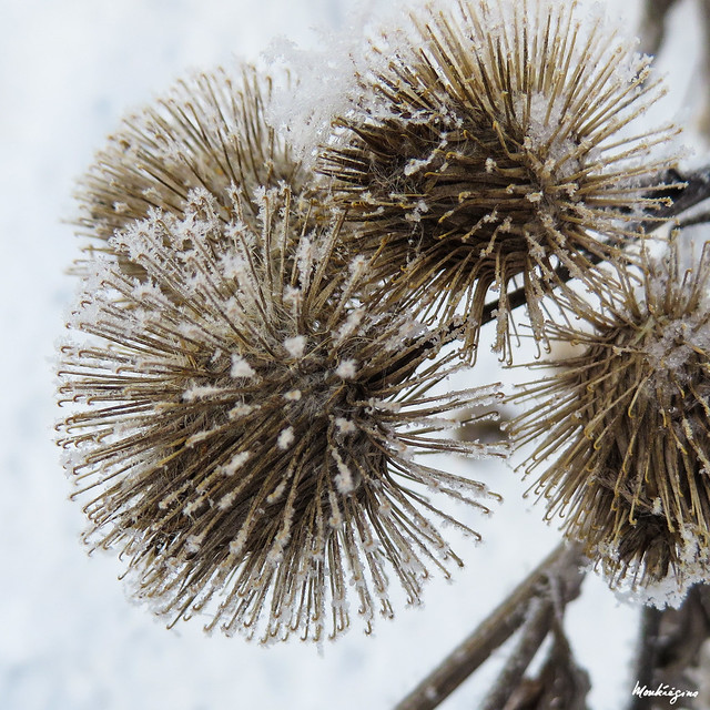 Frosted Thistles - Chardons givrés
