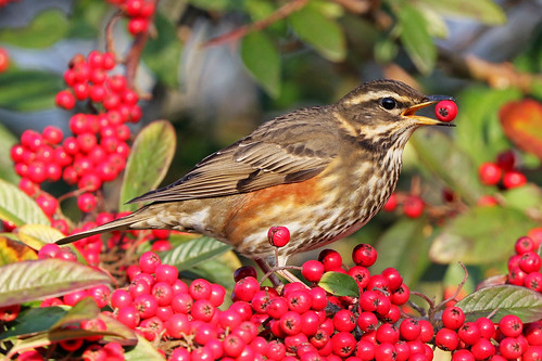 redwing canon suffolk