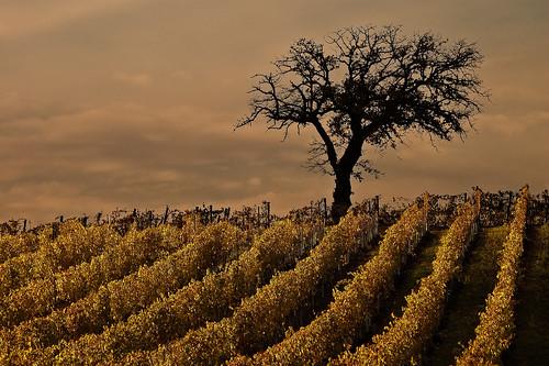 """Tuscany's Vineyards"" by rayced @flickr | by Jennifer Kumar"