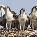 Osprey by eliotmal