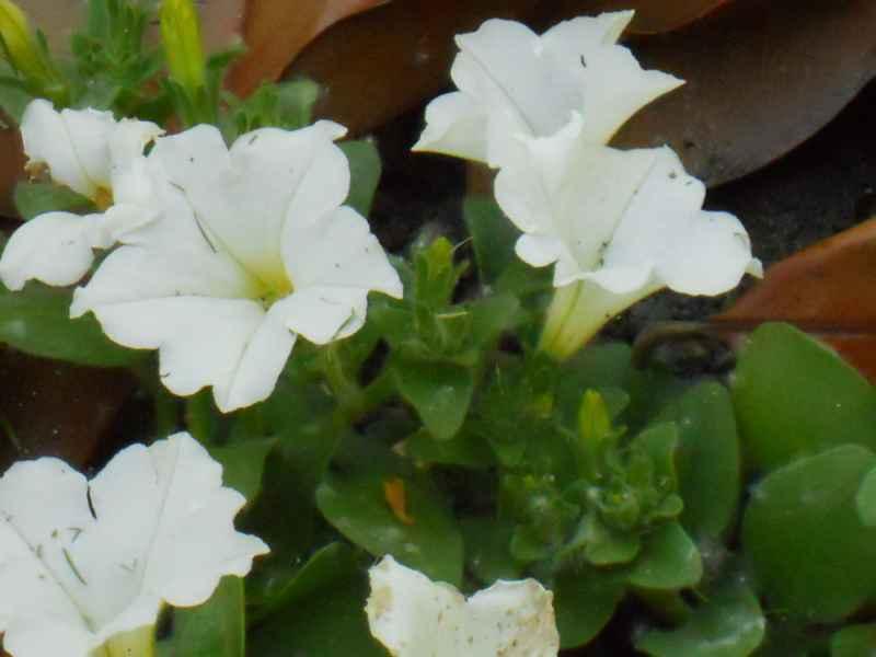 Petunia miliflora 1