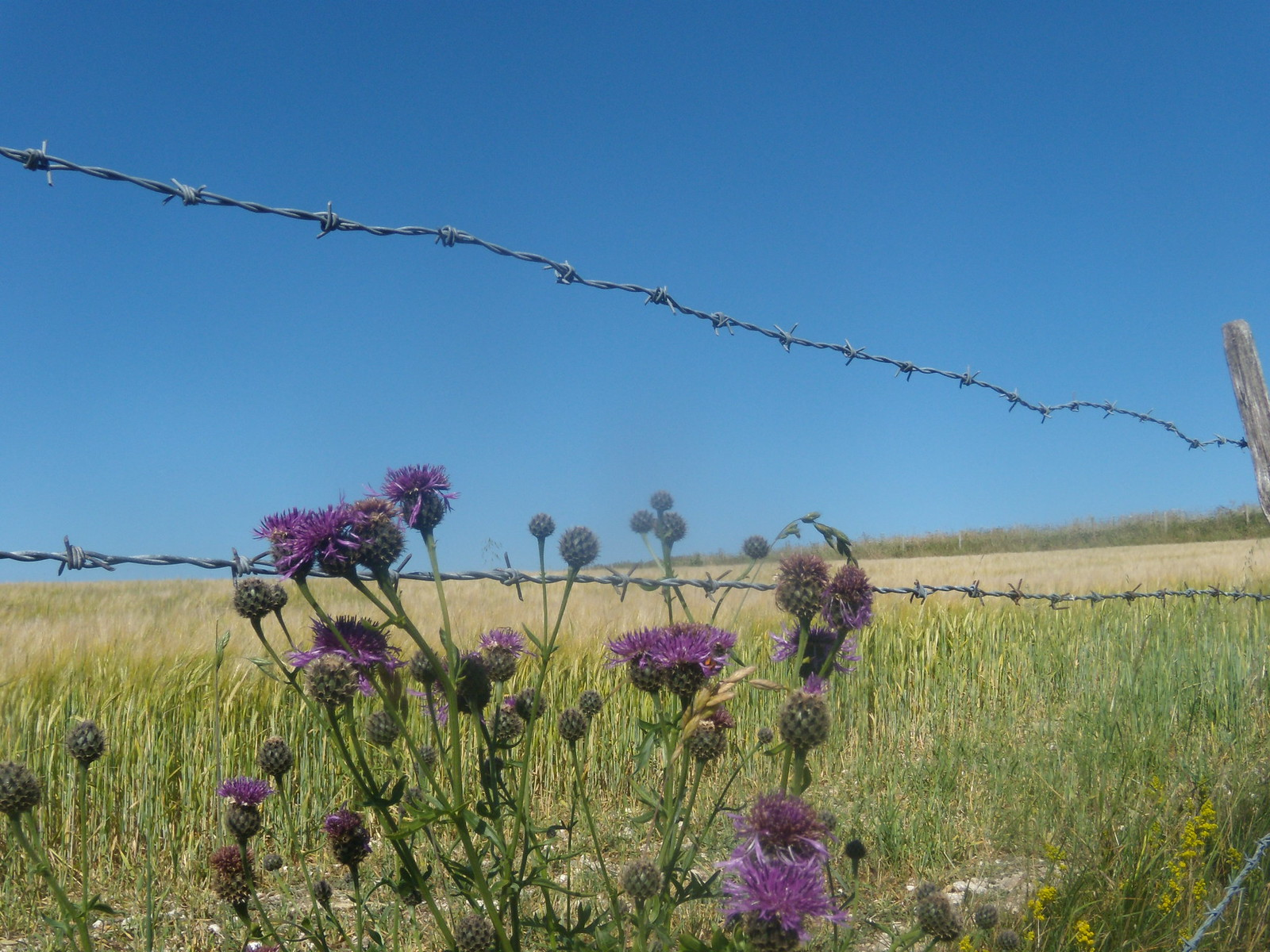 Knapweed Berwick to Birling Gap