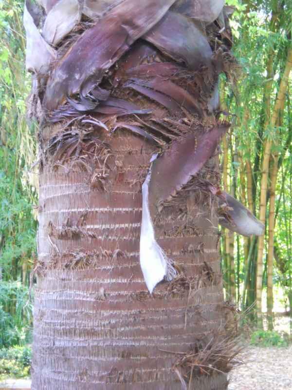 Washingtonia robusta detalle tronco v 3