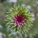 Flickr photo 'Nodding Thistle (Carduus nutans)' by: DrStephenD.