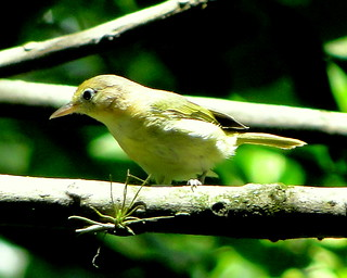 Verderón Luisucho [Golden-fronted Greenlet] (Hylophilus aurantiifrons saturatus) | by barloventomagico